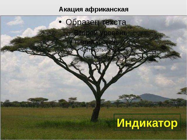 Акация африканская Индикатор