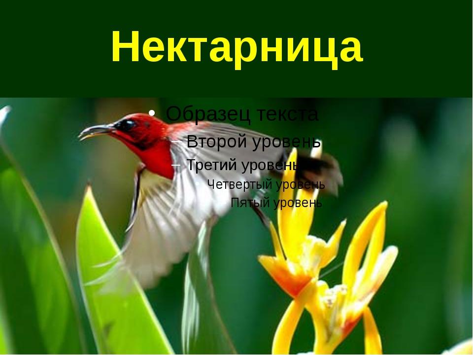 Нектарница