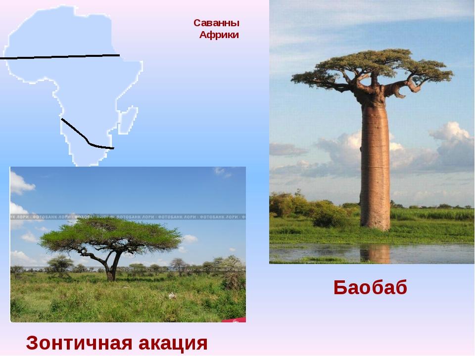 Саванны Африки Баобаб Зонтичная акация