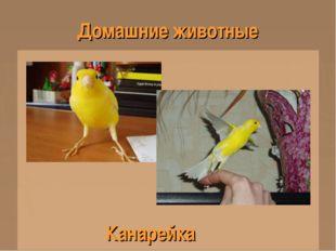 Домашние животные Канарейка