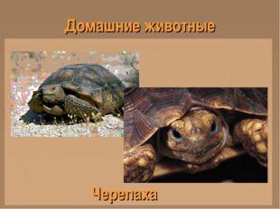 Домашние животные Черепаха