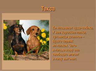 Такса Ее называют чудо-собака. У нее короткие лапки, туловище длинное – будто