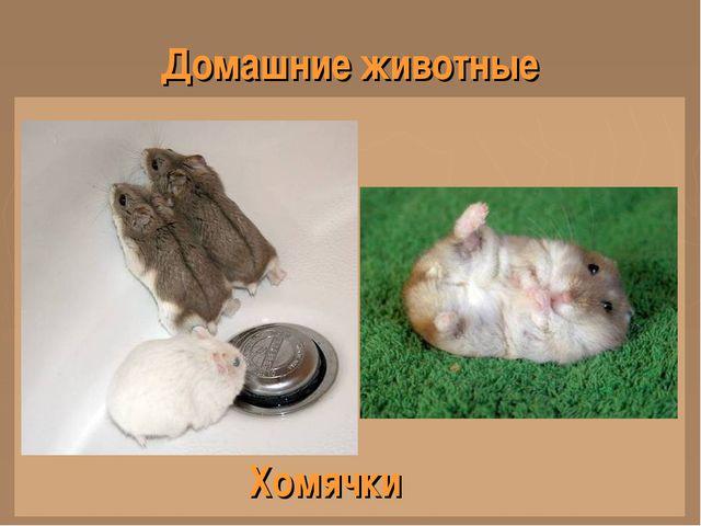 Домашние животные Хомячки