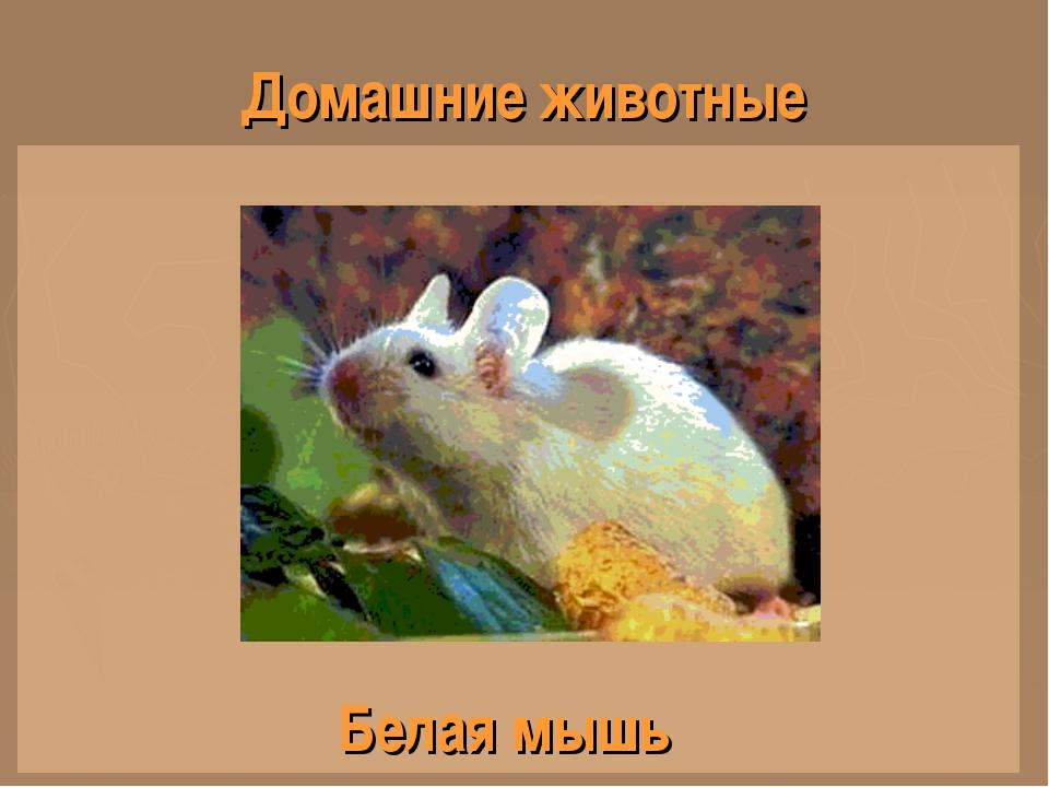 Домашние животные Белая мышь