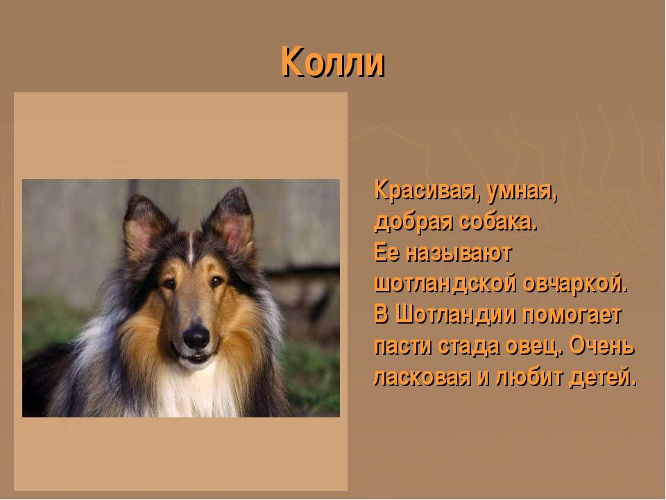 Колли Красивая, умная, добрая собака. Ее называют шотландской овчаркой. В Шот...