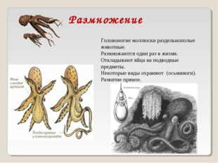 Головоногие моллюски раздельнополые животные. Размножаются один раз в жизни.