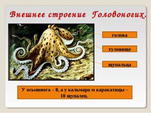 Внешнее строение Головоногих. голова туловище У осьминога – 8, а у кальмара м