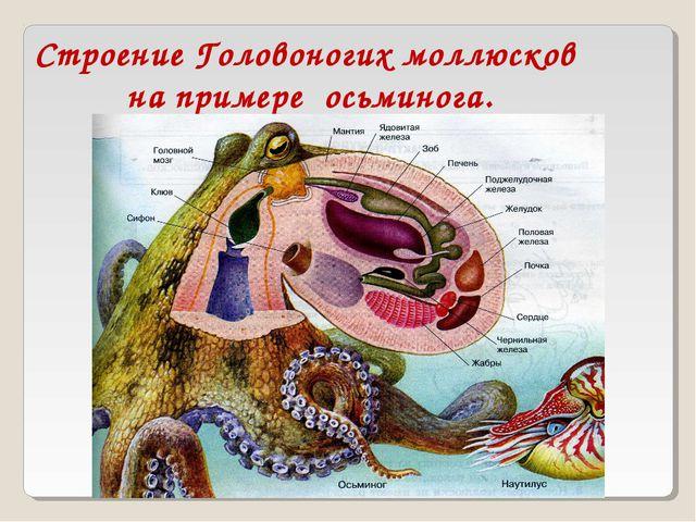 Строение Головоногих моллюсков на примере осьминога.