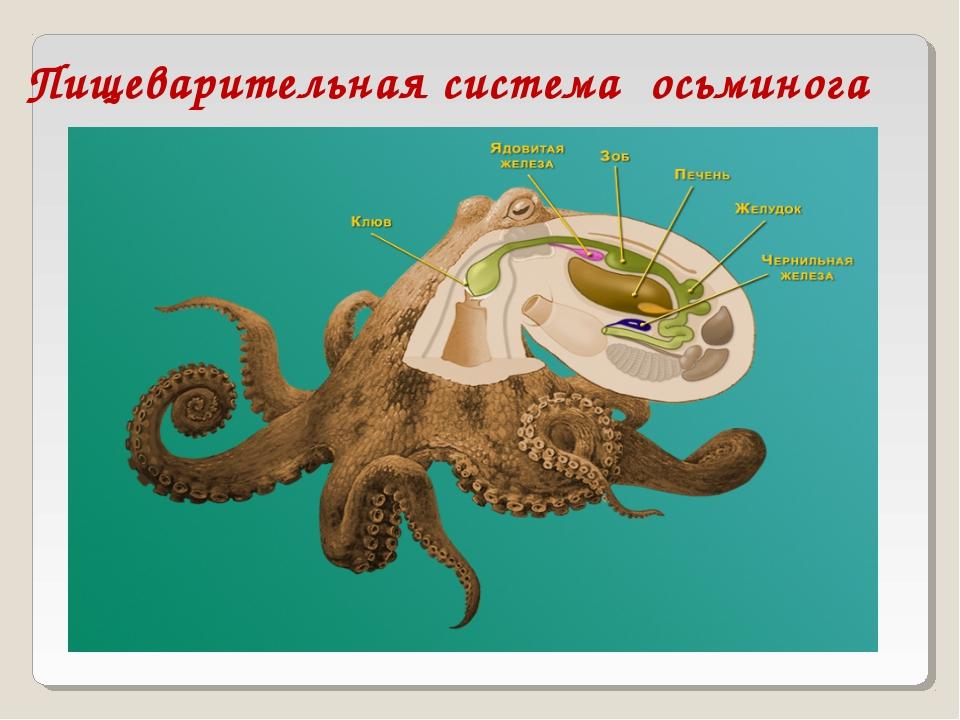 Пищеварительная система осьминога