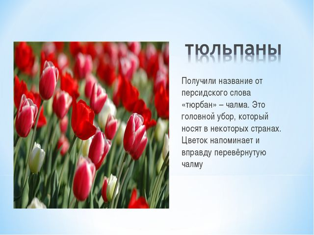 Получили название от персидского слова «тюрбан» – чалма. Это головной убор, к...