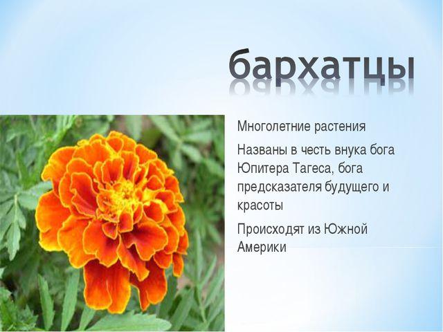 Многолетние растения Названы в честь внука бога Юпитера Тагеса, бога предсказ...