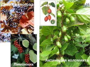 Актинидия коломикта Дикий виноград Лимонник Слайд 16