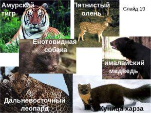 Амурский тигр Гималайский медведь Дальневосточный леопард Куница харза Енотов