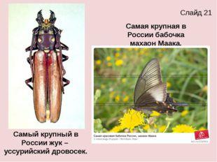 Самый крупный в России жук – уссурийский дровосек. Самая крупная в России баб