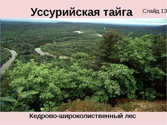 Уссурийская тайга Кедрово-широколиственный лес Слайд 13