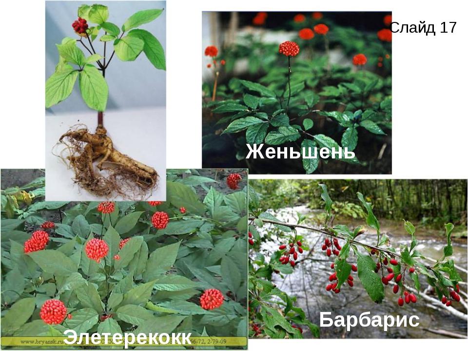 Женьшень Барбарис Элетерекокк Слайд 17
