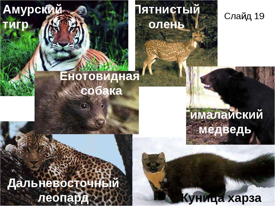 Амурский тигр Гималайский медведь Дальневосточный леопард Куница харза Енотов...
