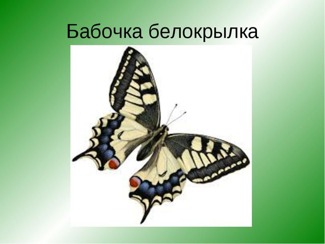 Бабочка белокрылка