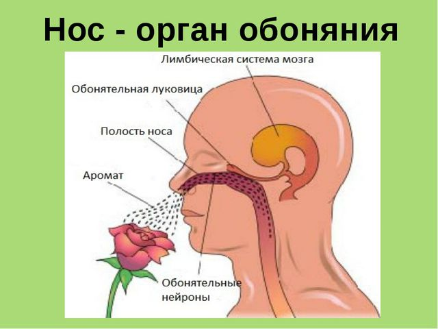 Язык - орган вкуса