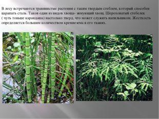 В лесу встречаются травянистые растения с таким твердым стеблем, который спос