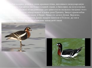 Краснозобая казарка- редкая и очень красивая птица, внесенная в международную
