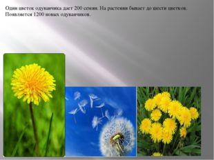Один цветок одуванчика дает 200 семян. На растении бывает до шести цветков. П