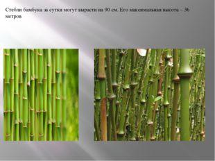 Стебли бамбука за сутки могут вырасти на 90 см. Его максимальная высота – 36