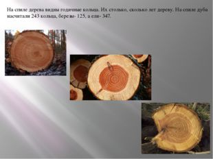 На спиле дерева видны годичные кольца. Их столько, сколько лет дереву. На спи