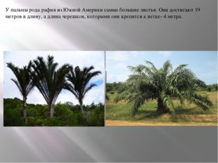 У пальмы рода рафия из Южной Америки самые большие листья. Они достигают 19 м