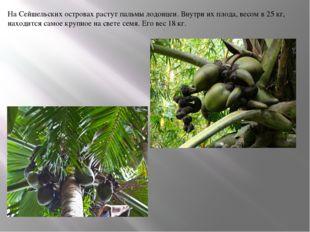 На Сейшельских островах растут пальмы лодоицеи. Внутри их плода, весом в 25 к