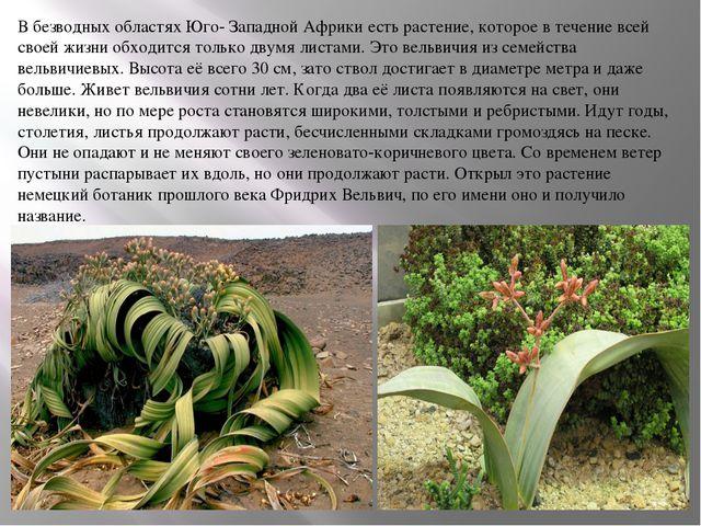 В безводных областях Юго- Западной Африки есть растение, которое в течение вс...