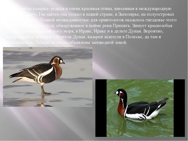 Краснозобая казарка- редкая и очень красивая птица, внесенная в международную...