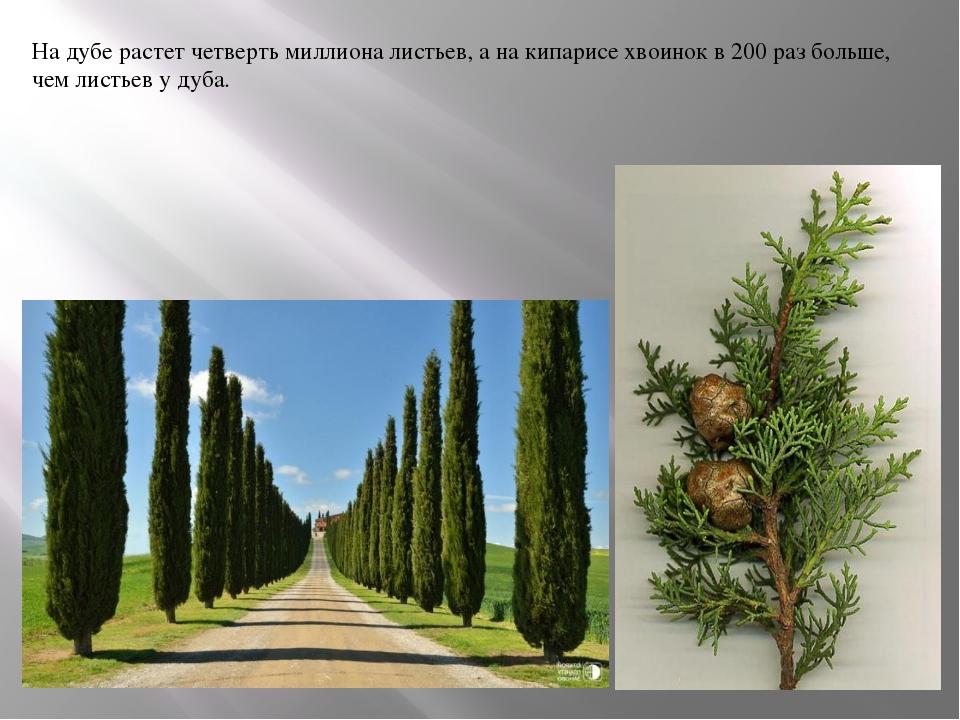 На дубе растет четверть миллиона листьев, а на кипарисе хвоинок в 200 раз бол...
