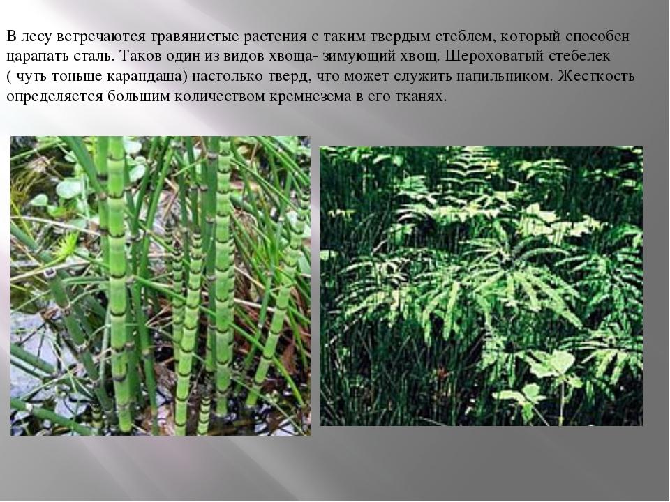 В лесу встречаются травянистые растения с таким твердым стеблем, который спос...