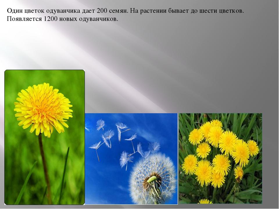 Один цветок одуванчика дает 200 семян. На растении бывает до шести цветков. П...
