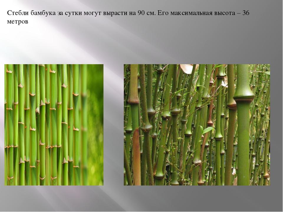 Стебли бамбука за сутки могут вырасти на 90 см. Его максимальная высота – 36...