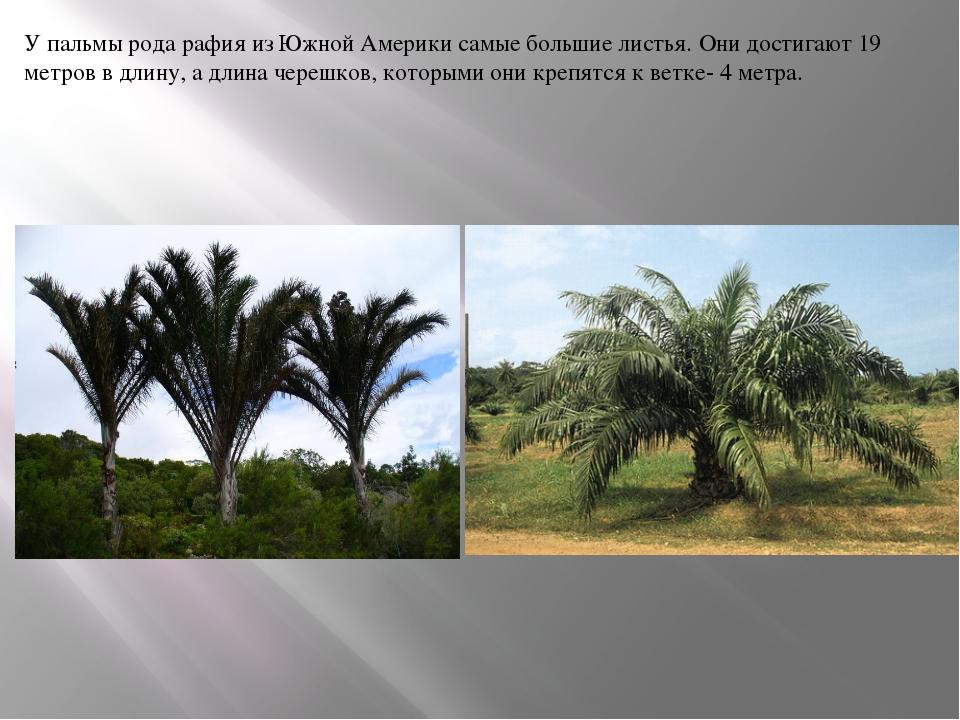 У пальмы рода рафия из Южной Америки самые большие листья. Они достигают 19 м...