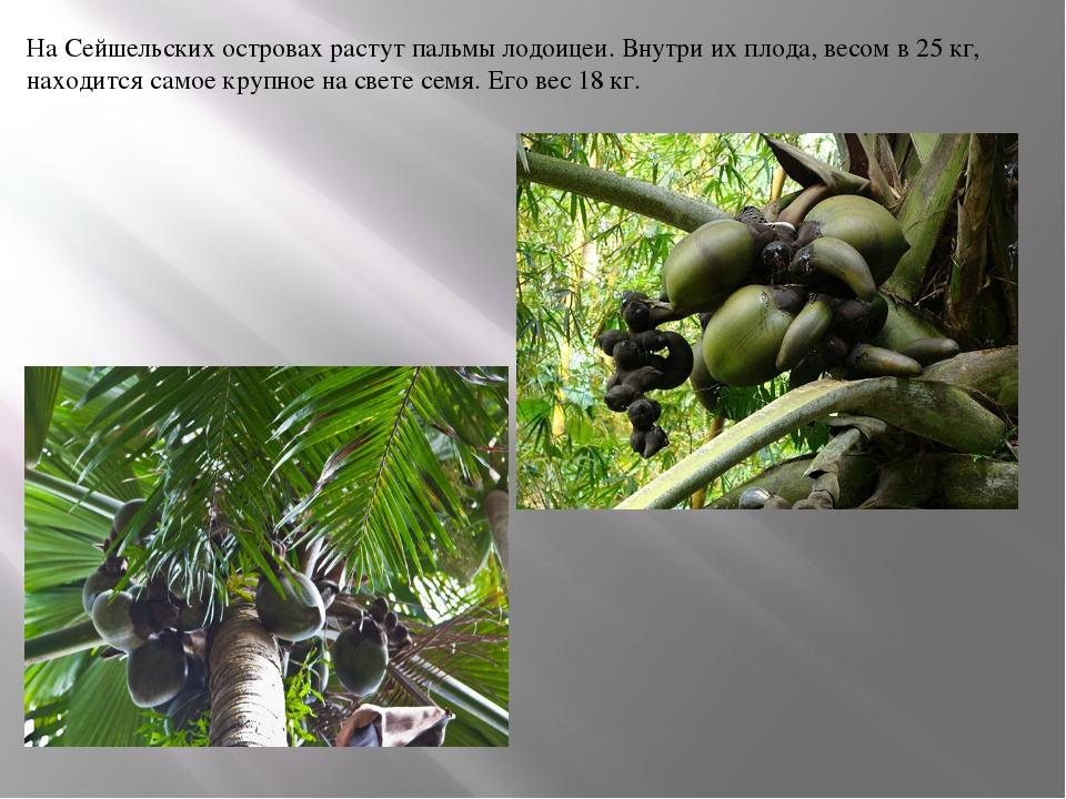 На Сейшельских островах растут пальмы лодоицеи. Внутри их плода, весом в 25 к...