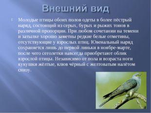 Молодые птицы обоих полов одеты в более пёстрый наряд, состоящий из серых, бу