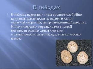 В гнёздах названных птиц-воспитателей яйцо кукушки практически не выделяется