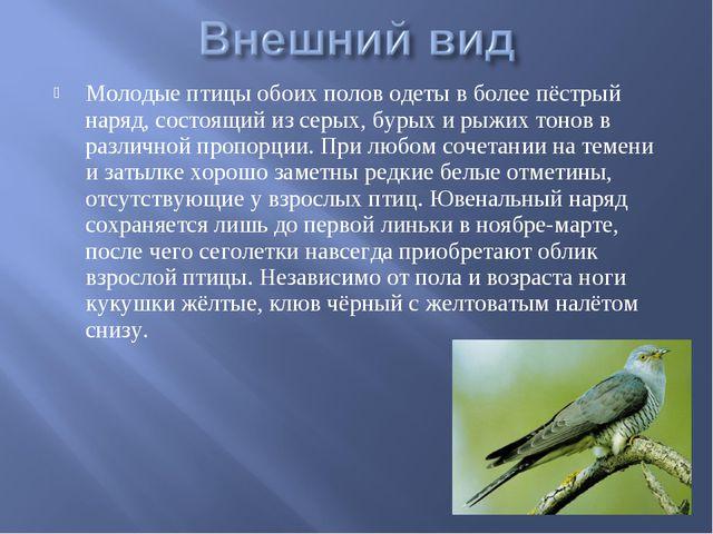 Молодые птицы обоих полов одеты в более пёстрый наряд, состоящий из серых, бу...