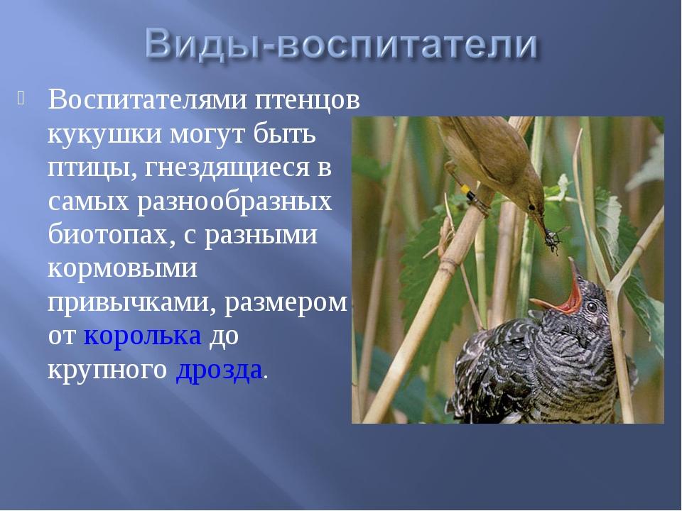 Воспитателями птенцов кукушки могут быть птицы, гнездящиеся в самых разнообра...