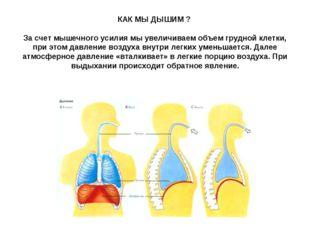 КАК МЫ ДЫШИМ ? За счет мышечного усилия мы увеличиваем объем грудной клетки,