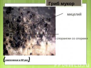 Гриб мукор мицелий спорангии со спорами
