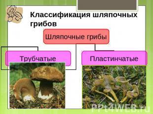 Знакомство с грибами мы начинаем с трубчатых шляпочных грибов Ведь именно они на