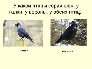 У какой птицы серая шея: у галки, у вороны, у обеих птиц,. галка ворона