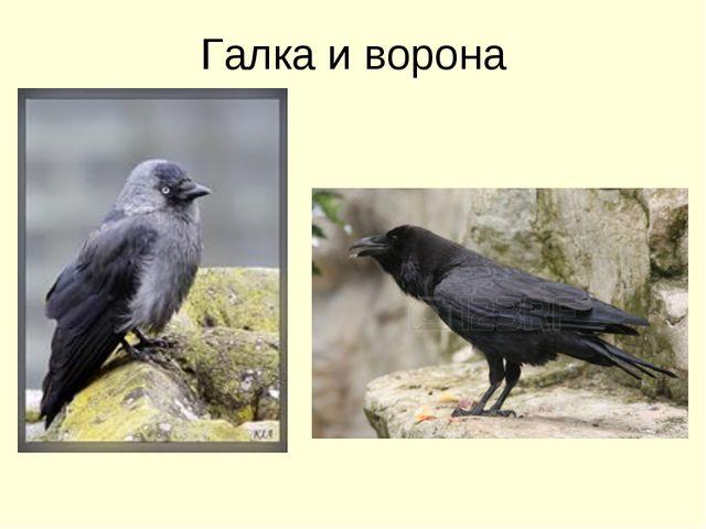 Галка и ворона