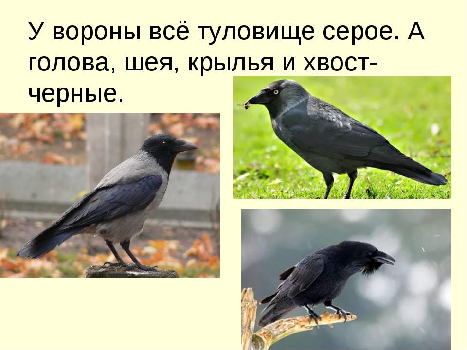 У вороны всё туловище серое. А голова, шея, крылья и хвост- черные.