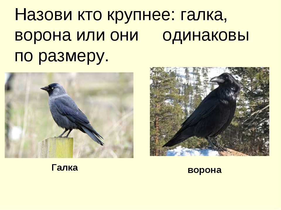 Назови кто крупнее: галка, ворона или они одинаковы по размеру. Галка ворона