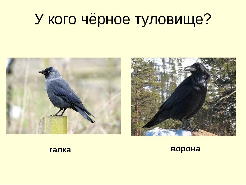 У кого чёрное туловище? галка ворона